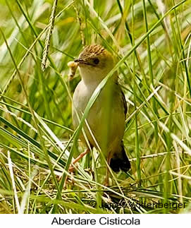 Aberdare Cisticola - © James F Wittenberger and Exotic Birding Tours