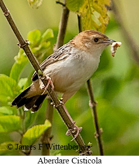 Aberdare Cisticola - © James F Wittenberger and Exotic Birding LLC