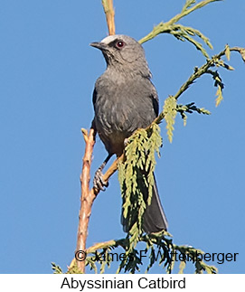 Abyssinian Catbird - © James F Wittenberger and Exotic Birding LLC