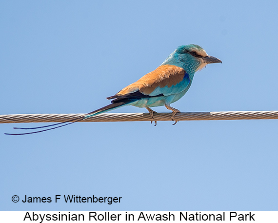 Abyssinian Roller - © James F Wittenberger and Exotic Birding LLC