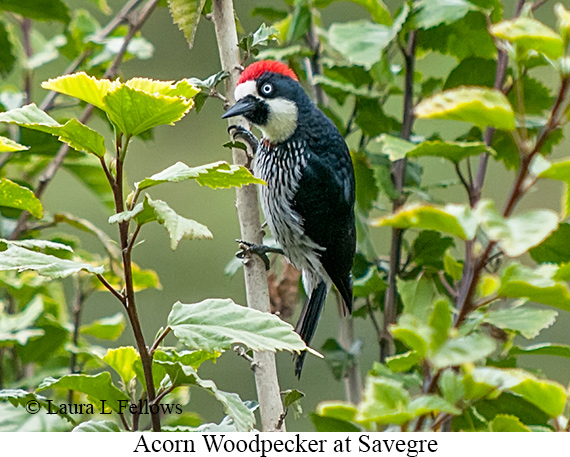 Acorn Woodpecker - © Laura L Fellows and Exotic Birding Tours
