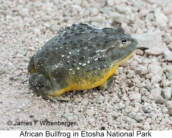 African Bullfrog - © The Photographer and Exotic Birding LLC