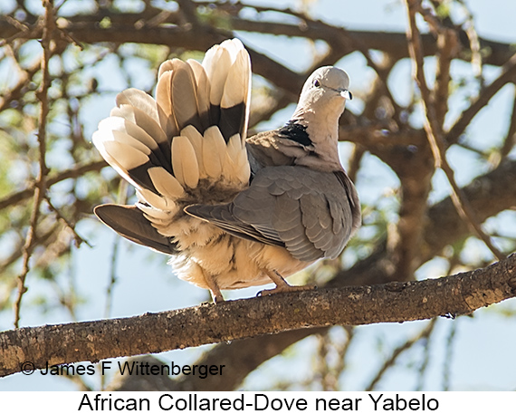 African Collared-Dove - © James F Wittenberger and Exotic Birding LLC