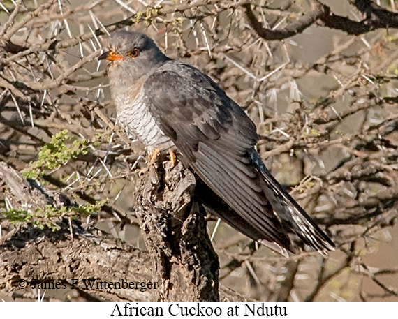 African Cuckoo - © James F Wittenberger and Exotic Birding LLC
