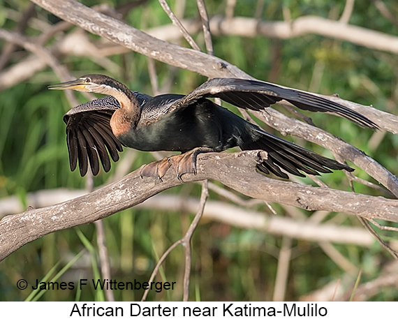 African Darter - © The Photographer and Exotic Birding LLC