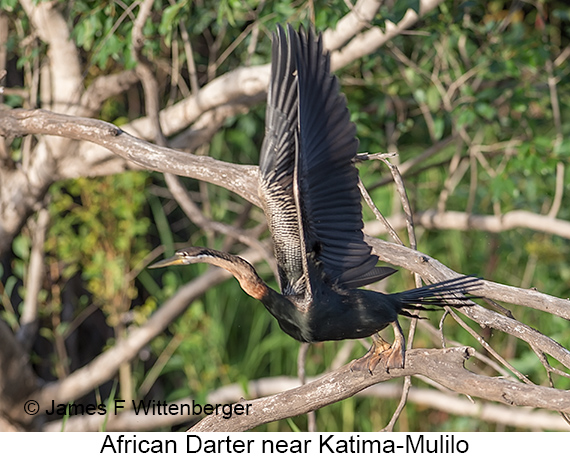 African Darter - © Laura L Fellows and Exotic Birding Tours