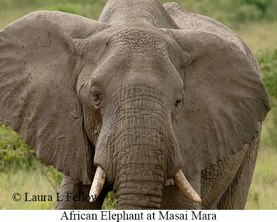 African Bush Elephant - © The Photographer and Exotic Birding LLC