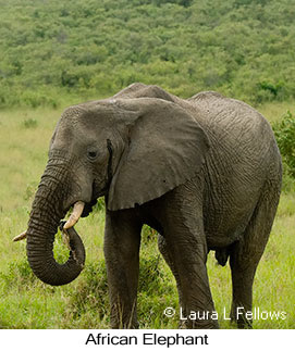 African Bush Elephant - © Laura L Fellows and Exotic Birding Tours