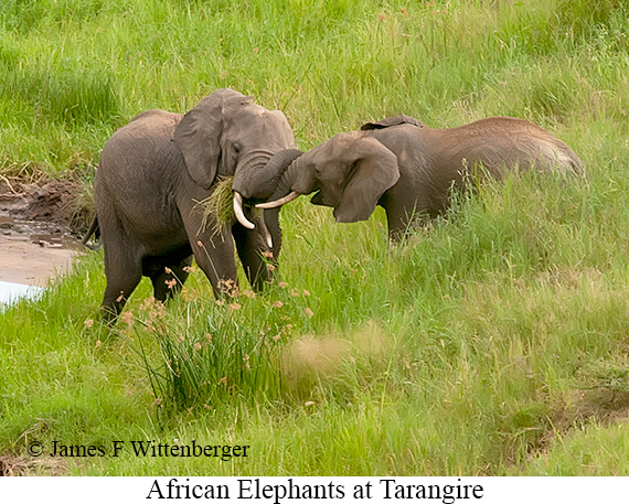 African Bush Elephant - © James F Wittenberger and Exotic Birding Tours