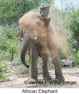 African Bush Elephant - © James F Wittenberger and Exotic Birding LLC