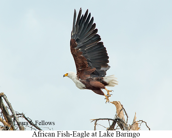 African Fish-Eagle - © Laura L Fellows and Exotic Birding LLC