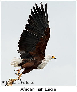 African Fish-Eagle - © Laura L Fellows and Exotic Birding Tours