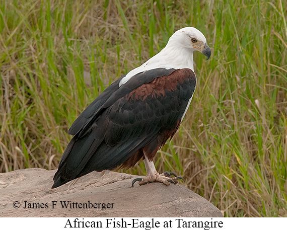 African Fish-Eagle - © James F Wittenberger and Exotic Birding Tours