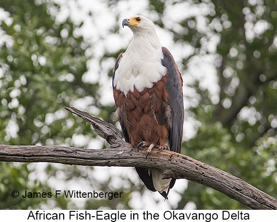 African Fish-Eagle - © James F Wittenberger and Exotic Birding LLC