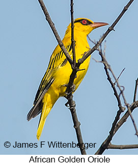 African Golden Oriole - © James F Wittenberger and Exotic Birding LLC