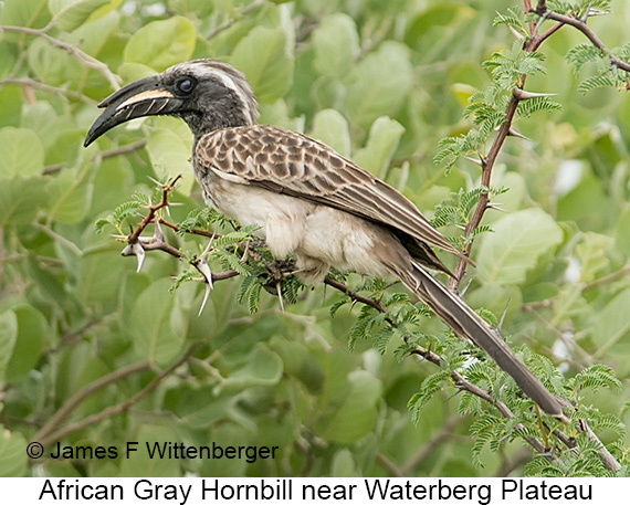 African Gray Hornbill - © The Photographer and Exotic Birding LLC