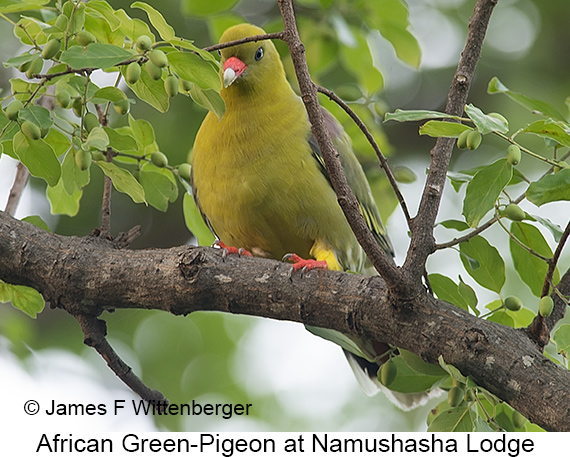 African Green-Pigeon - © James F Wittenberger and Exotic Birding LLC