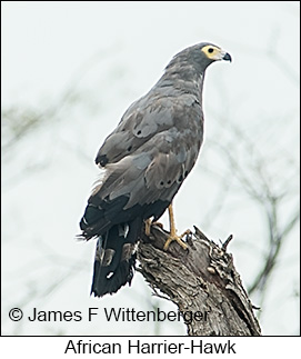 African Harrier-Hawk - © James F Wittenberger and Exotic Birding LLC