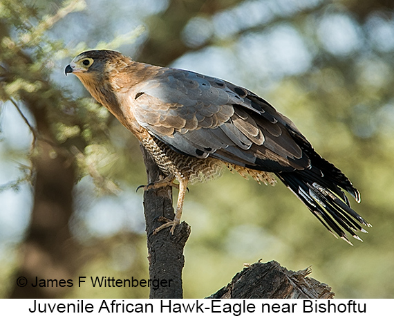 African Hawk-Eagle - © The Photographer and Exotic Birding LLC