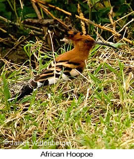 African Hoopoe - © James F Wittenberger and Exotic Birding LLC