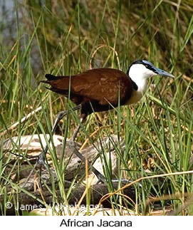 African Jacana - © James F Wittenberger and Exotic Birding Tours