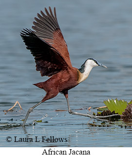 African Jacana - © Laura L Fellows and Exotic Birding LLC