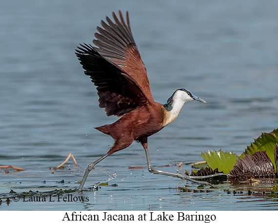 African Jacana - © Laura L Fellows and Exotic Birding Tours