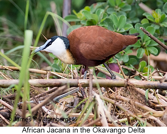 African Jacana - © James F Wittenberger and Exotic Birding LLC