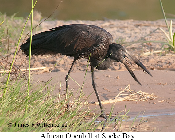 African Openbill - © James F Wittenberger and Exotic Birding LLC
