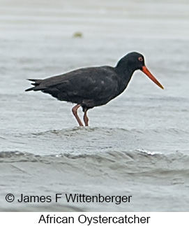 African Oystercatcher - © James F Wittenberger and Exotic Birding LLC