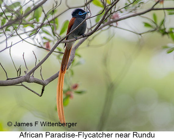 African Paradise-Flycatcher - © James F Wittenberger and Exotic Birding LLC