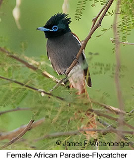 African-paradise Flycatcher Female - © James F Wittenberger and Exotic Birding Tours