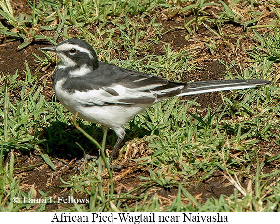 African Pied Wagtail - © Laura L Fellows and Exotic Birding Tours