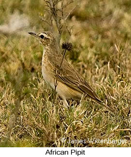 African Pipit - © James F Wittenberger and Exotic Birding Tours
