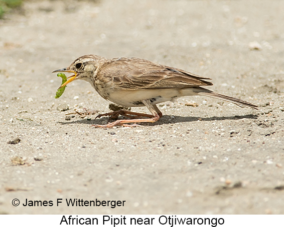 African Pipit - © The Photographer and Exotic Birding LLC