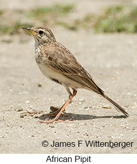 African Pipit - © James F Wittenberger and Exotic Birding LLC