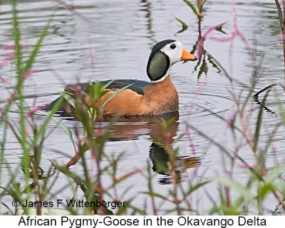 African Pygmy-Goose - © The Photographer and Exotic Birding LLC
