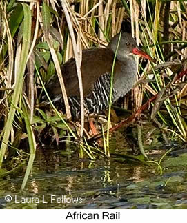 African Rail - © Laura L Fellows and Exotic Birding LLC