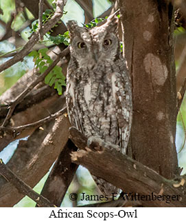 African Scops-Owl - © James F Wittenberger and Exotic Birding Tours
