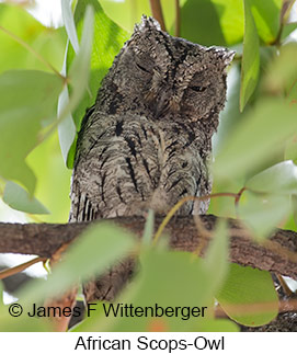 African Scops-Owl - © James F Wittenberger and Exotic Birding LLC