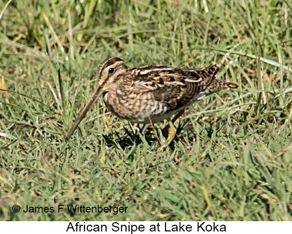 African Snipe - © James F Wittenberger and Exotic Birding LLC