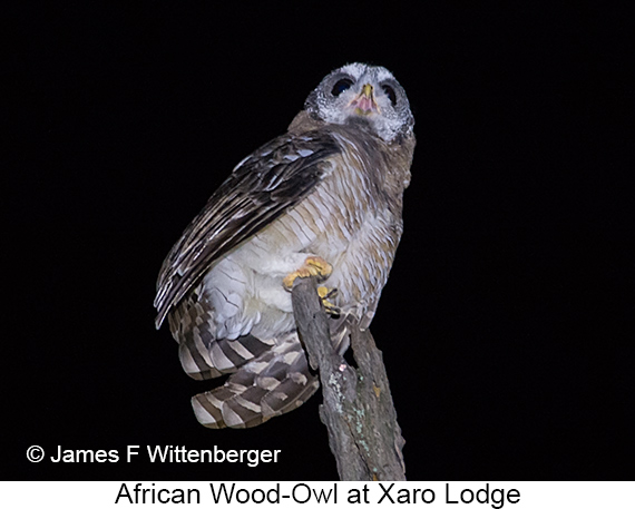 African Wood-Owl - © James F Wittenberger and Exotic Birding LLC