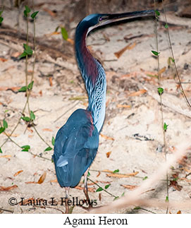 Agami Heron - © Laura L Fellows and Exotic Birding Tours