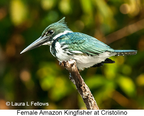 Amazon Kingfisher - © Laura L Fellows and Exotic Birding Tours
