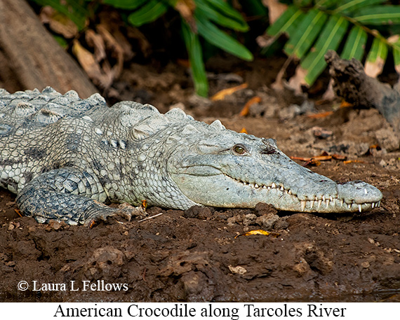 American Crocodile - © Laura L Fellows and Exotic Birding Tours