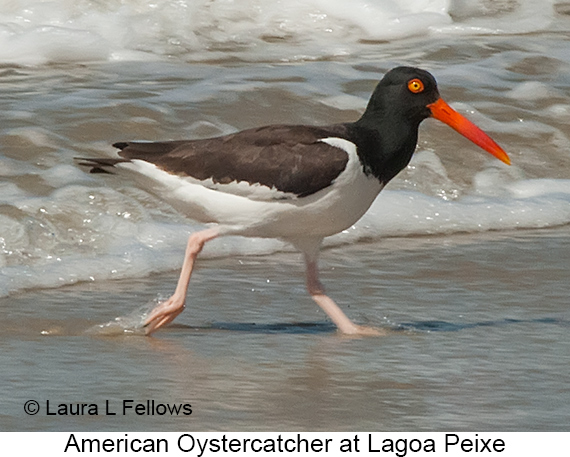 American Oystercatcher - © The Photographer and Exotic Birding LLC