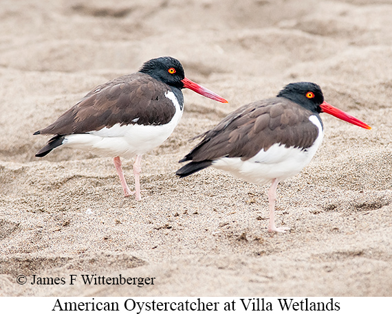 American Oystercatcher - © James F Wittenberger and Exotic Birding Tours