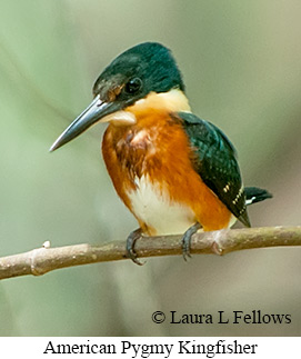 American Pygmy Kingfisher - © Laura L Fellows and Exotic Birding LLC