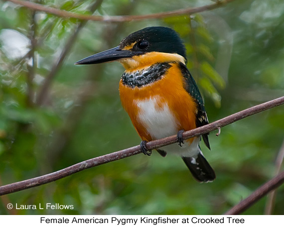American Pygmy Kingfisher - © Laura L Fellows and Exotic Birding Tours
