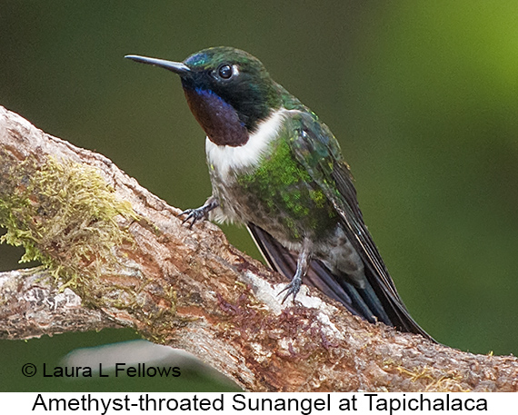 Amethyst-throated Sunangel - © Laura L Fellows and Exotic Birding Tours